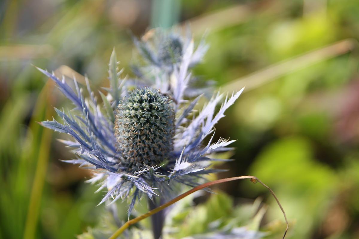 Berühmt Eryngium alpinum 'Blue Star': Lubera.at #BX_65