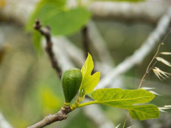 Feigenbaum im Topf