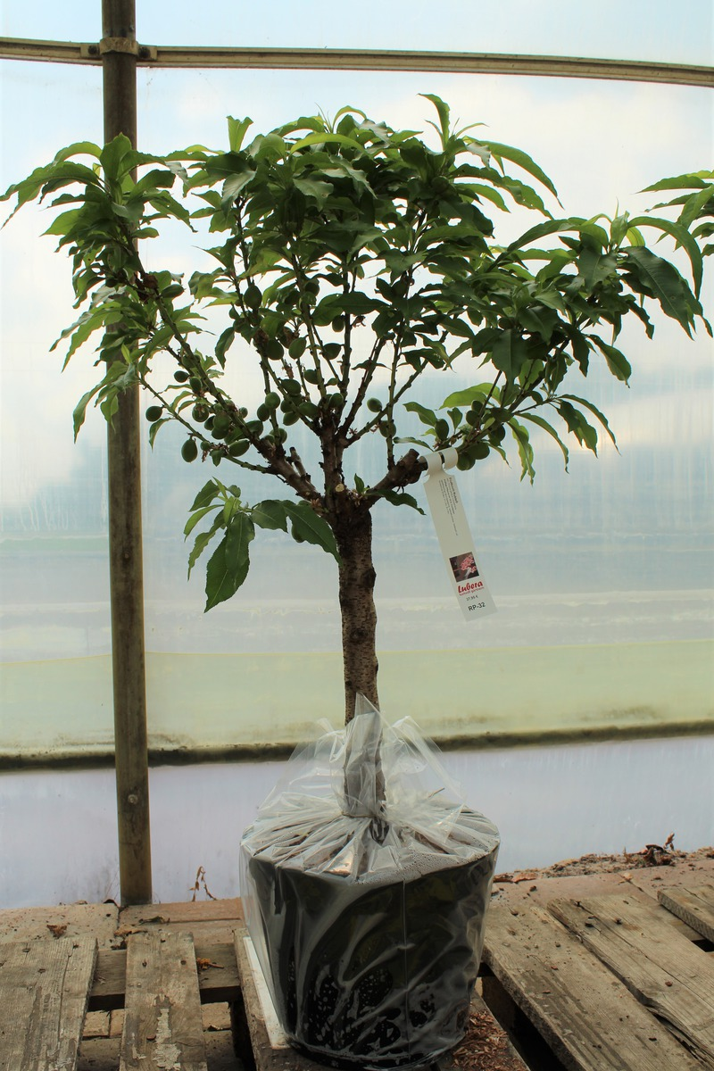 Nektarine Im Garten: Fruttoni® Rubis® Im Lubera Online Shop Kaufen