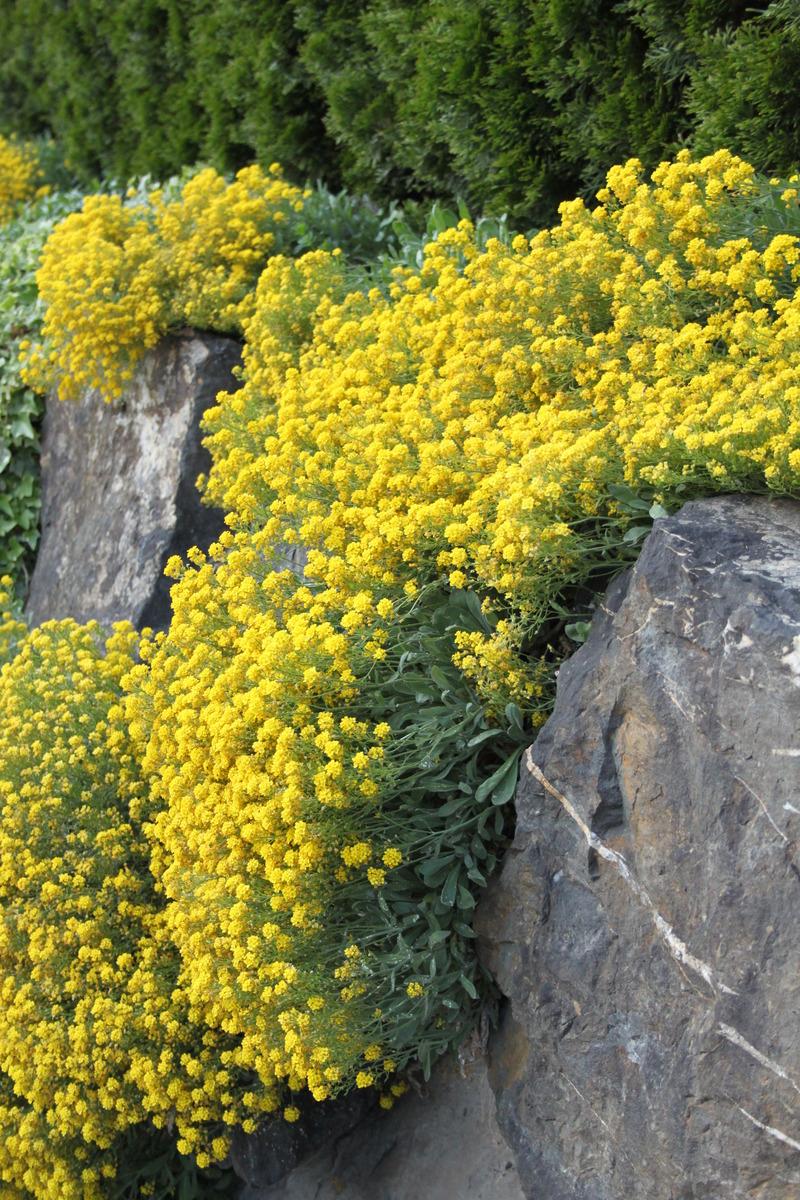 gelbes steinkraut goldkoerbchen compactum samen luberach