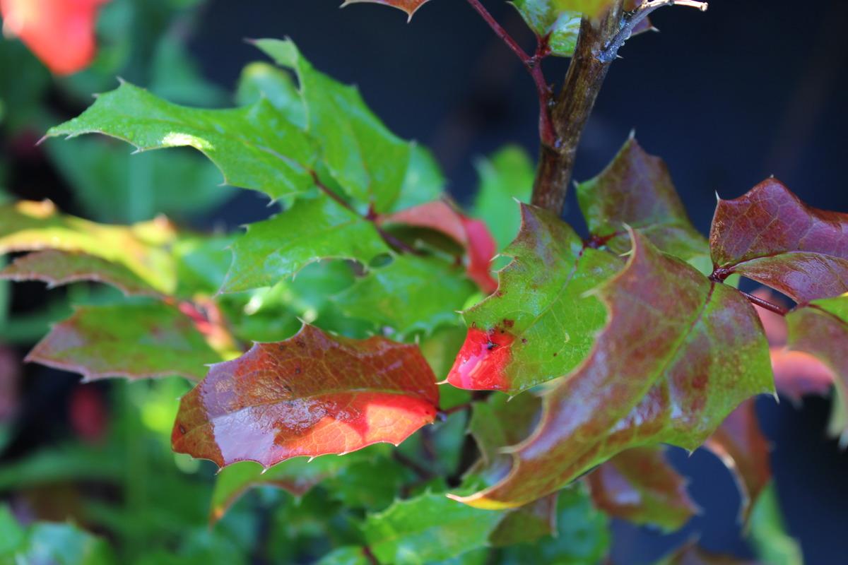 Фото ржавчины магонии