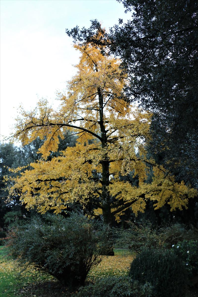 ginkgo, ginkgobaum, mädchenhaarbaum, fächerblattbaum : lubera.ch