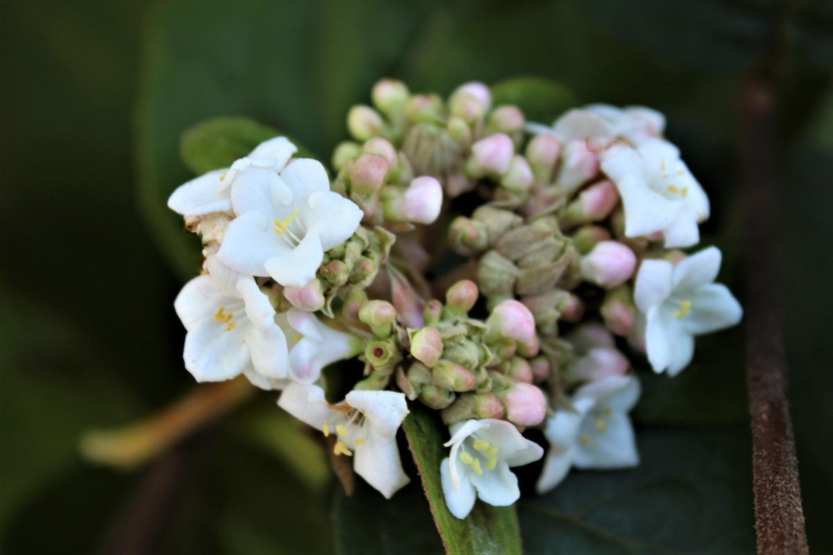 Viburnum Carlcephalum Grossblumiger Duft Schneeball Online Kaufen