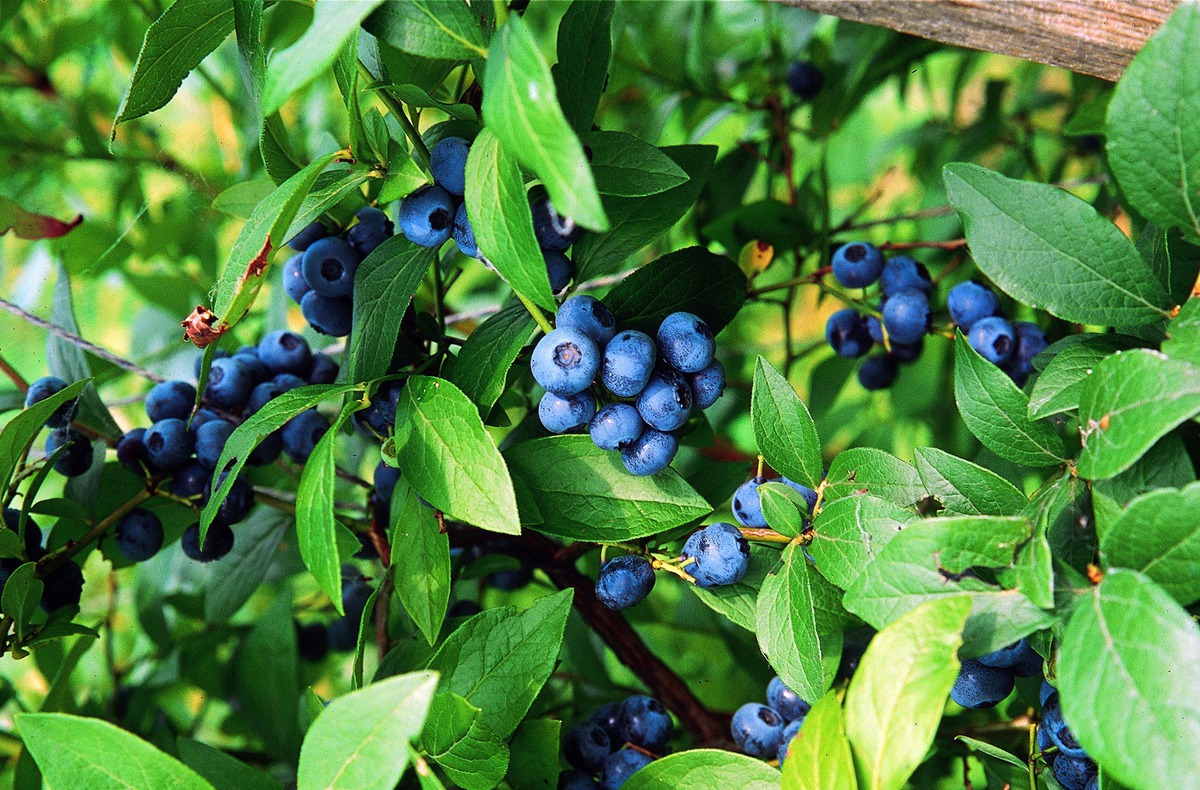 Berühmt Heidelbeerstrauch Luberissima Heidelbeere Bluecrop: Lubera.de #OV_12