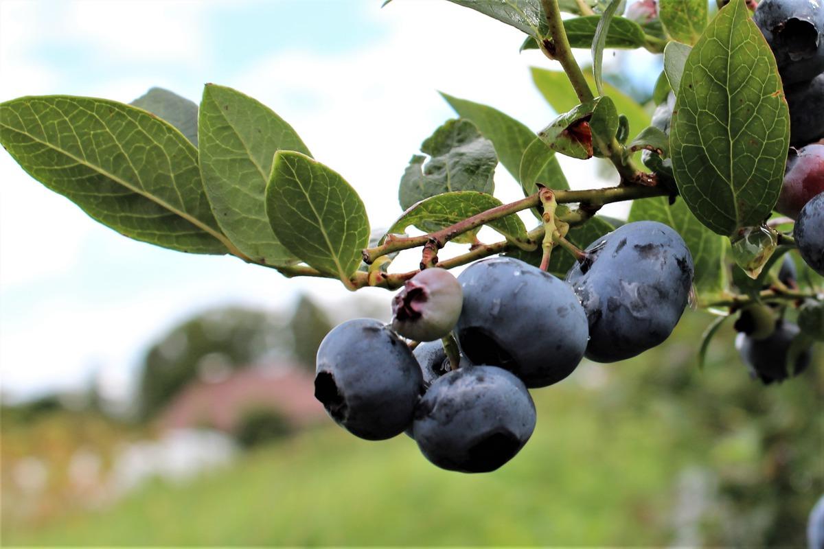 heidelbeere blueroma luberade