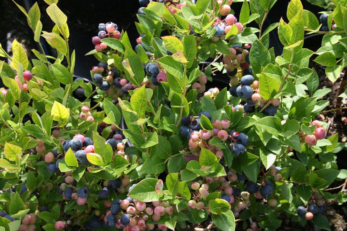Top Heidelbeerstrauch Luberissima Heidelbeere Brigitta Blue: Lubera.ch #PT_69