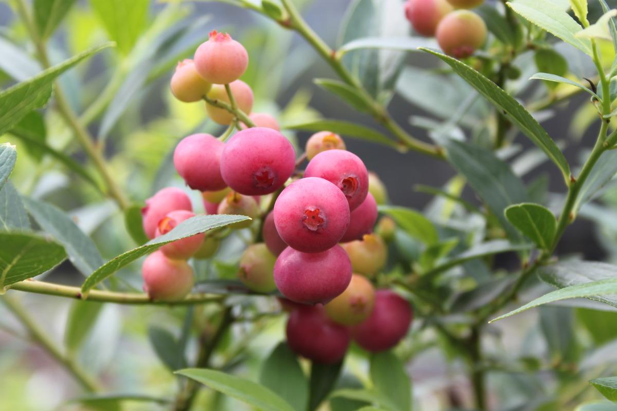 Außergewöhnlich Heidelbeerstrauch Luberissima Heidelbeere Pinkbeere® Pink Lemonade #LI_81
