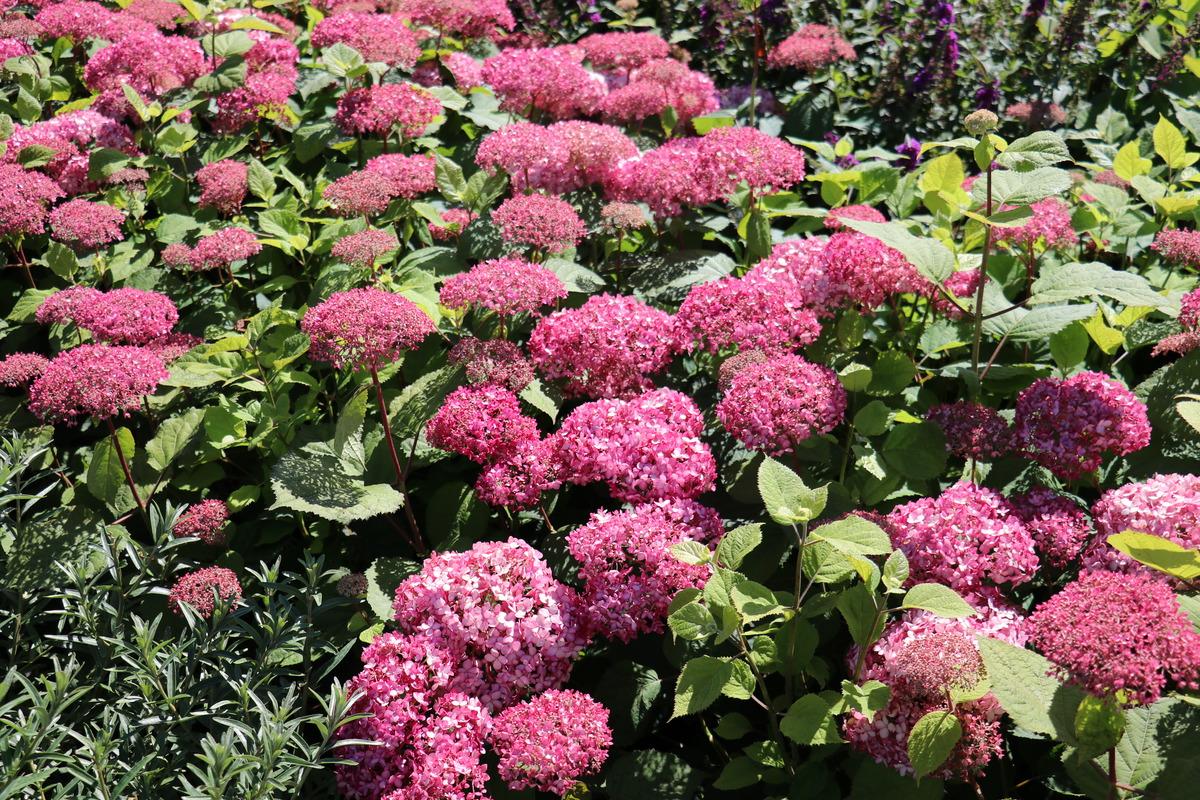 Hortensie Schneeballhortensie Pink Annabelle 174 Lubera De
