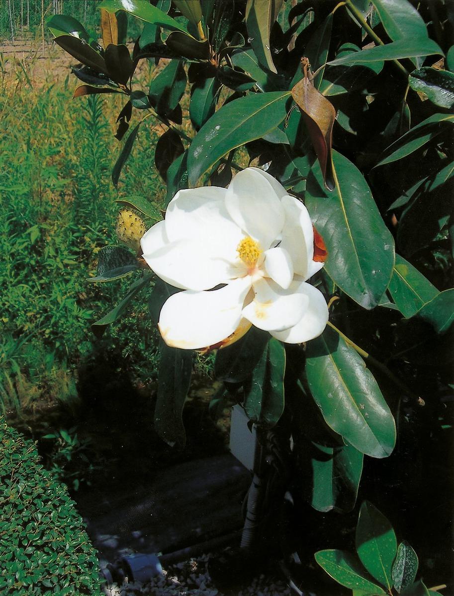 die immergr ne magnolie mit weissen bl ten f r ihren garten. Black Bedroom Furniture Sets. Home Design Ideas