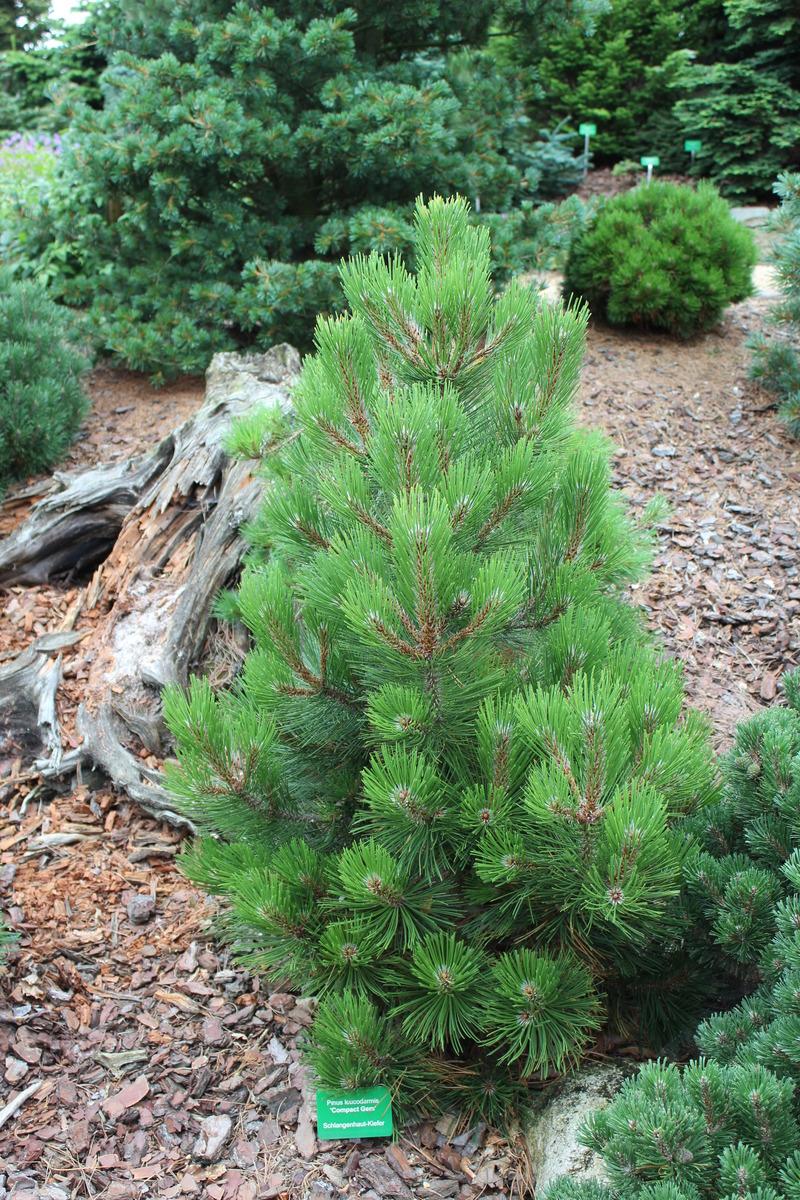 Zwerg-Kegel-Kiefer 1m breit max 1-2m hoch Pinus mugo Columnaris 30-40