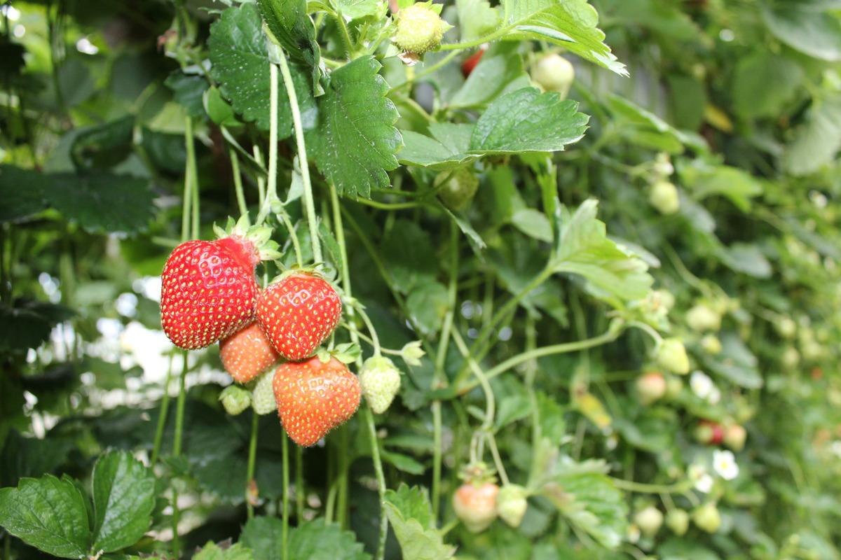 Klettergerüst Für Weintrauben : Rankpflanzen für kletterhilfen