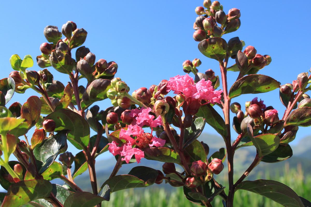 Lagerstroemia Fuchsia D Ete Lubera Ch