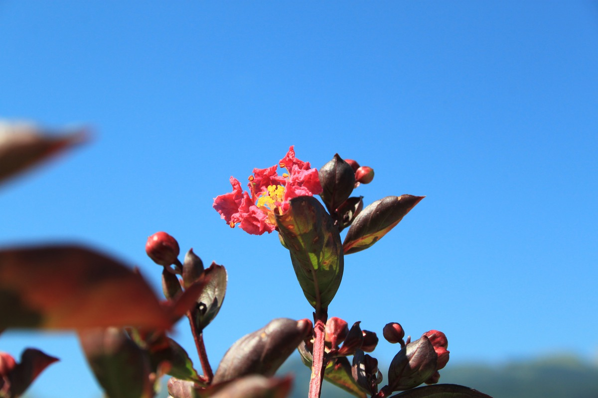 Lagerstroemia Petite Red Lubera At