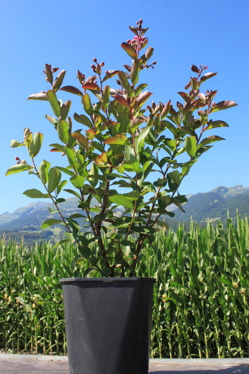 Lagerstroemia Petite Red Lubera Ch