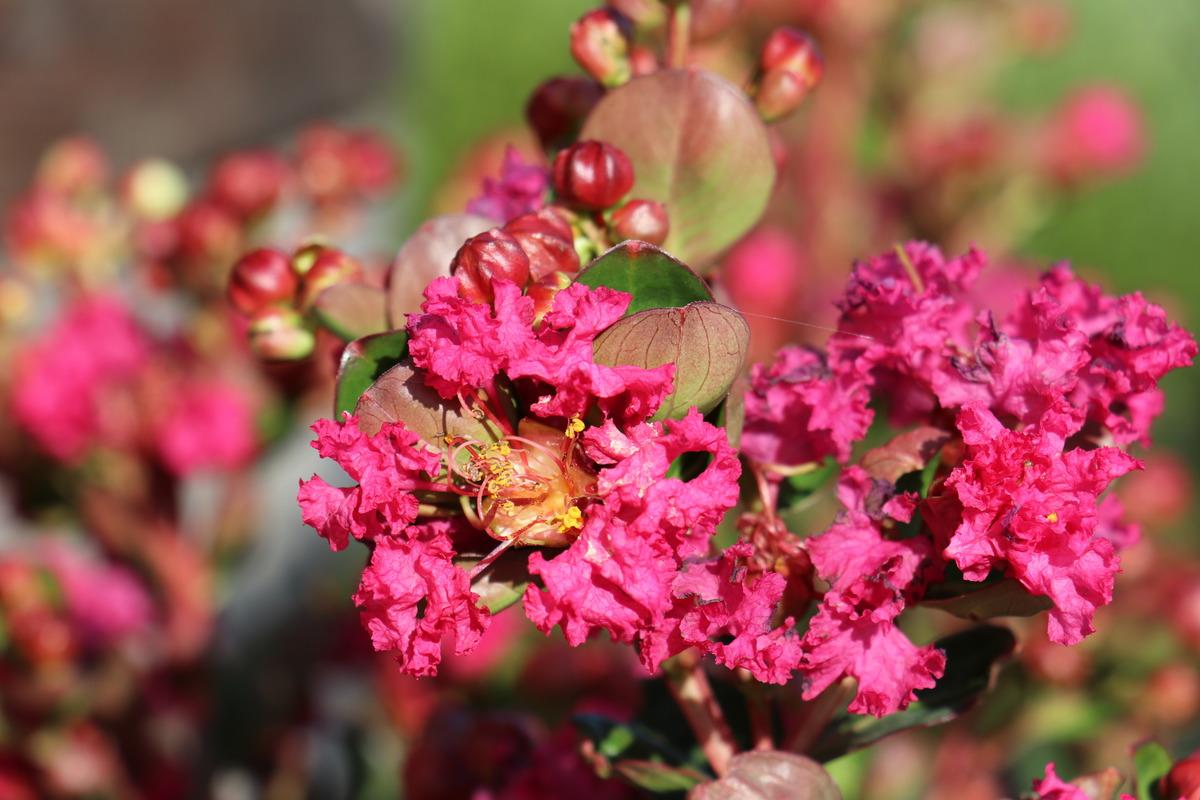 Lagerstroemia Rose Fuchsia Lubera De