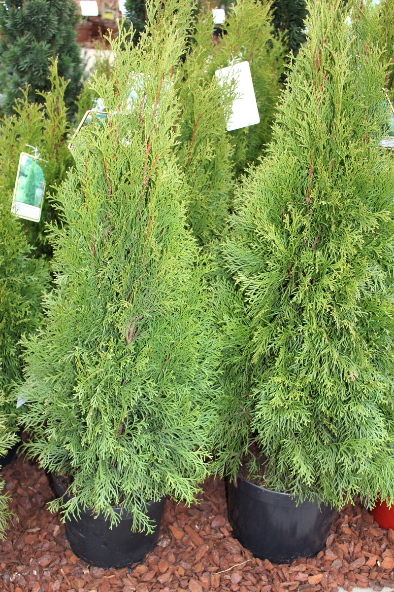 Super Lebensbaum, Thuja 'Smaragd': Lubera.de #ZE_88