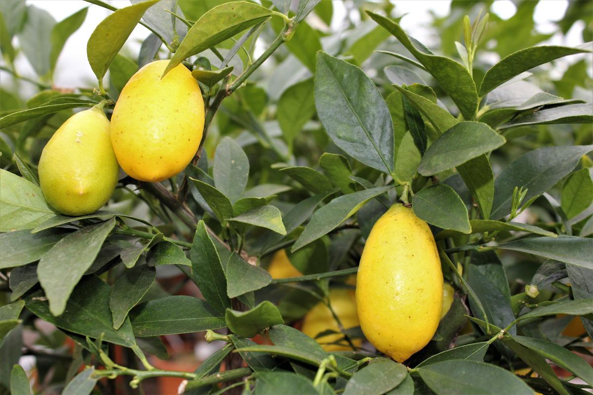 Citrus hystrix /'Kaffir-Limette/' Papeda Zitrus Kaffernlimette Pflanze 80-100cm