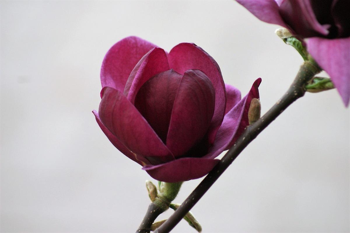 magnolienbaum im topf