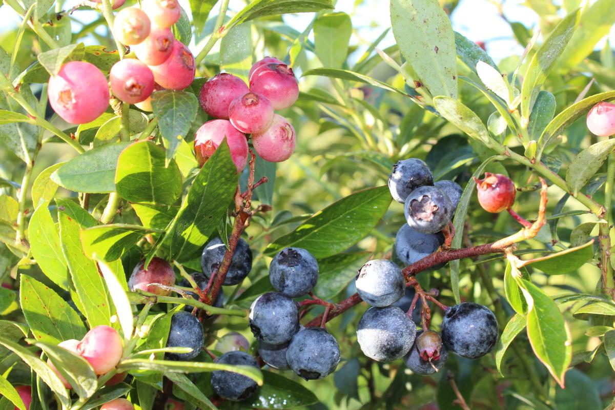 Mehrbeere® Pinkbeere®: Blaue UND pinke Heidelbeere in einem Topf ...