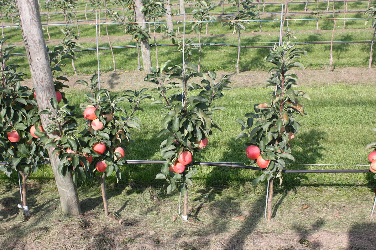 Mini Apfelbaumchen Maloni Sally Im Lubera Online Shop Kaufen