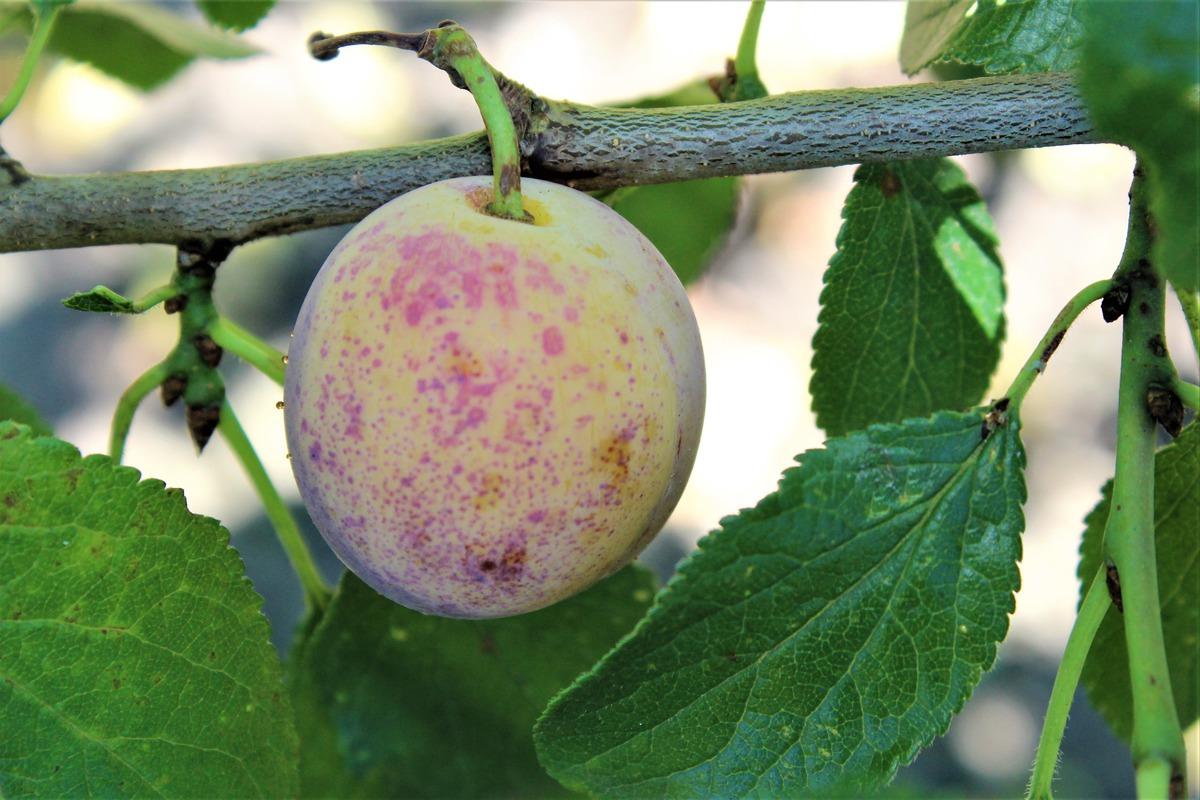 Mirabelle Bellamira Prunus Domestica Ssp Syriaca Online Kaufen