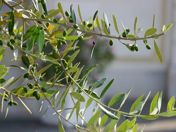 Olivenbaum auspflanzen