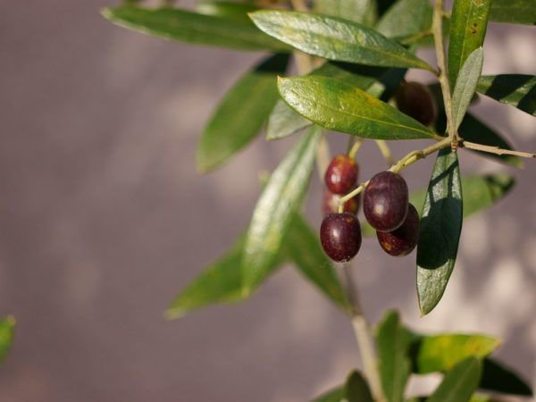 eigene oliven ernten ist auch hierzulande m glich tipps f r die olivenernte. Black Bedroom Furniture Sets. Home Design Ideas
