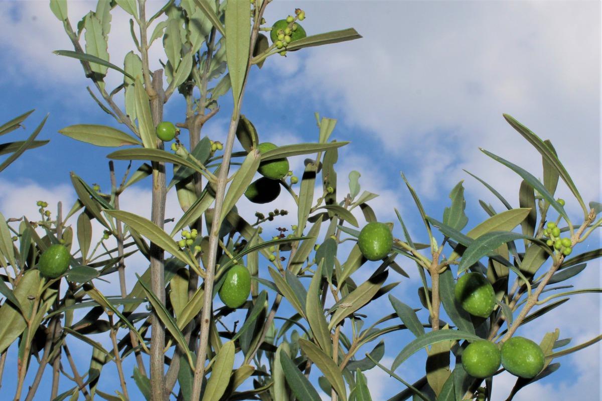 Lieblings Olivenbaum 'Leccino': Lubera.ch #WI_91