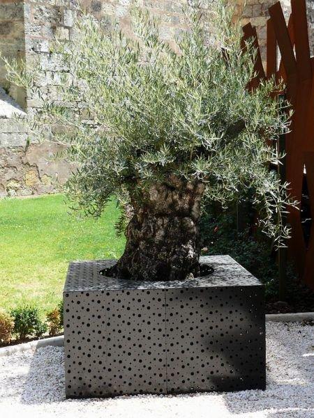 Atemberaubend Mein Olivenbaum verliert alle Blätter - Ursachen und Pflegetipps @BZ_13