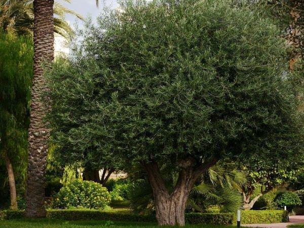 olivenbaum w chst nicht pflegetipps f r gesunde olivenb ume. Black Bedroom Furniture Sets. Home Design Ideas