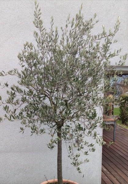 olivenbaum schneiden schritt f r schritt schneide anleitung. Black Bedroom Furniture Sets. Home Design Ideas