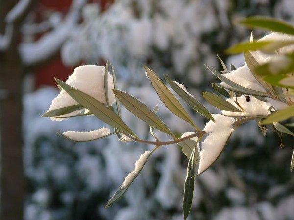 vertr gt ein olivenbaum frost tipps und infos zur frosth rte. Black Bedroom Furniture Sets. Home Design Ideas