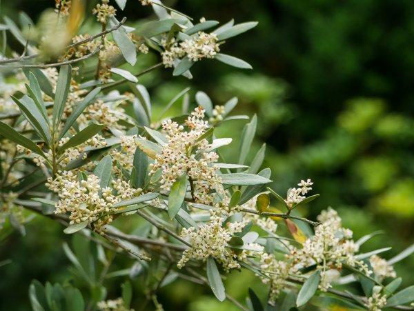 Geliebte Olivenbaum pflanzen: So gelingt die Auspflanzung in Deutschland @DL_69