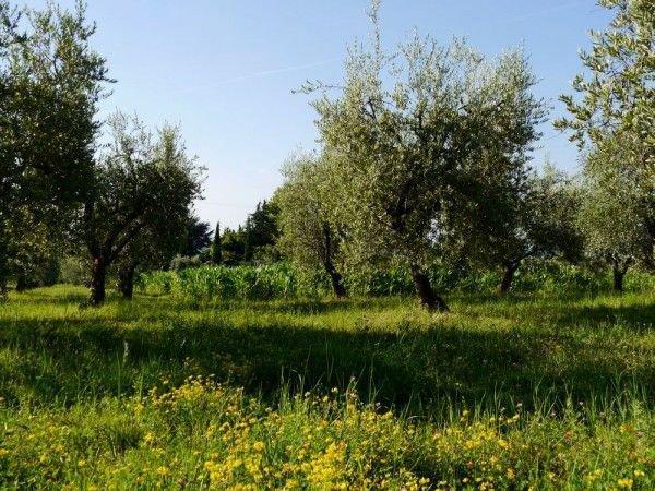 einen olivenbaum umtopfen so macht ihr es richtig. Black Bedroom Furniture Sets. Home Design Ideas