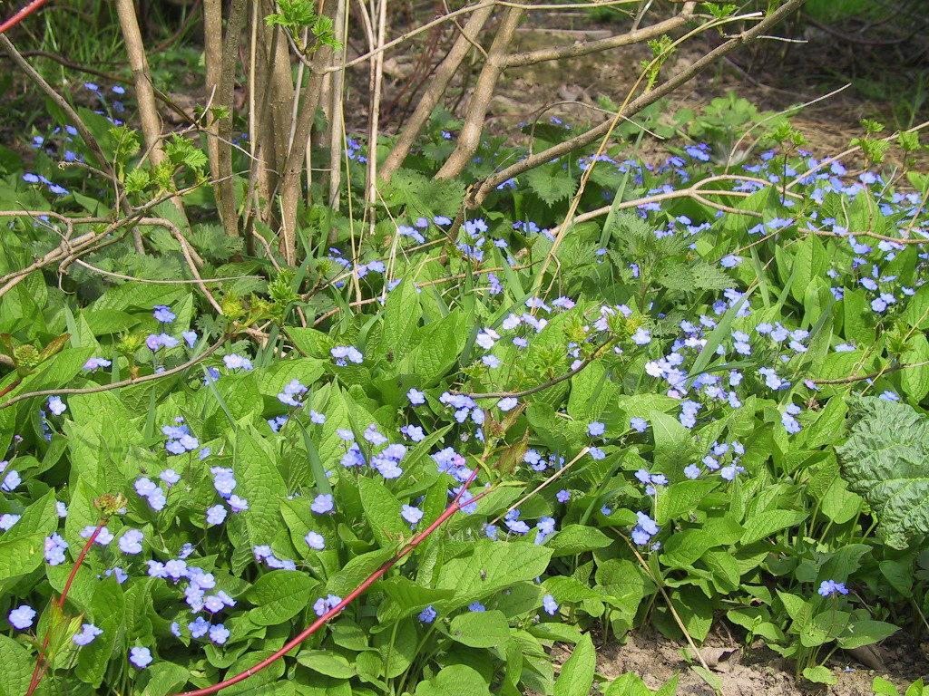 Nachtviole weiß blühend Hesperis matronalis Blume 40 Samen MENGENRABATT !!!