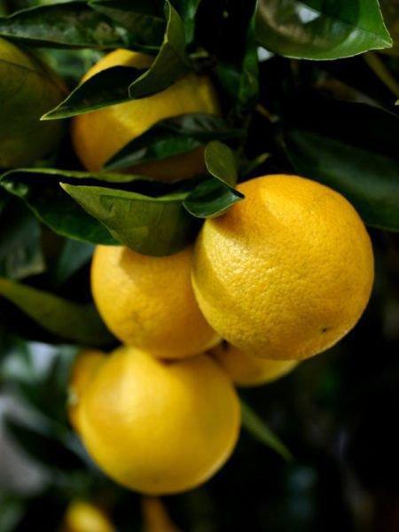 Ein Orangenbäumchenüberwintern Tipps fürÜberwinterung und Pflege ~ 26155015_Sukkulenten Überwintern Temperatur