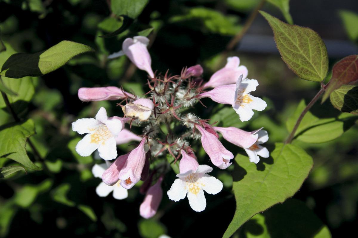 Perlmuttstrauch Kolkwitzie 60-80cm Kolkwitzia amabilis