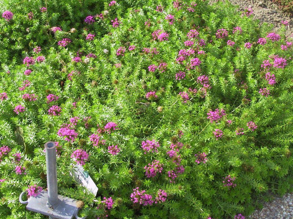 Vierecktopf Leucanthemum x superbum Polaris 3 Pflanzen im 0,5 lt