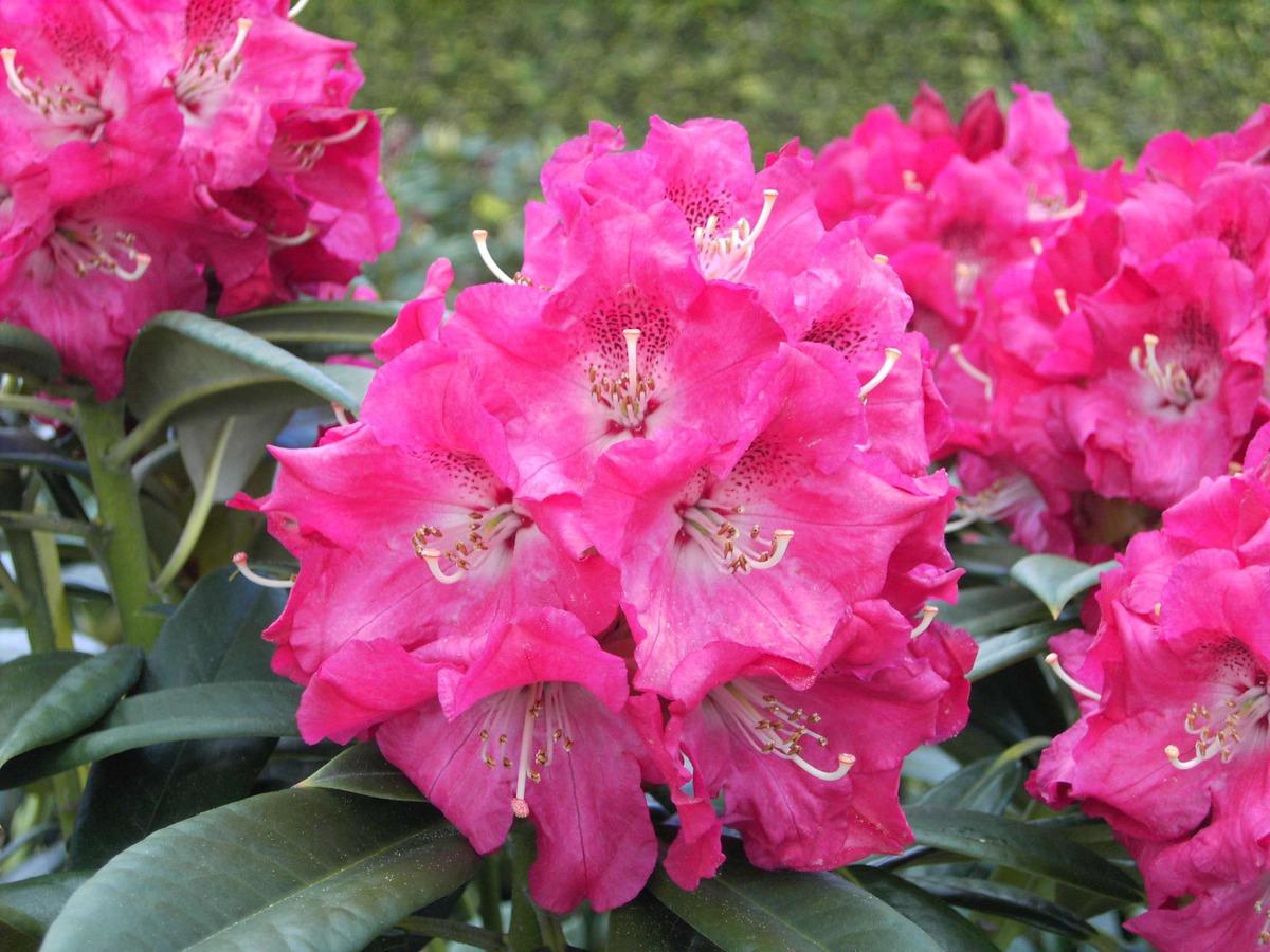 Top Rhododendron 'Berliner Liebe' kaufen | Lubera Pflanzen Online Shop @JT_56