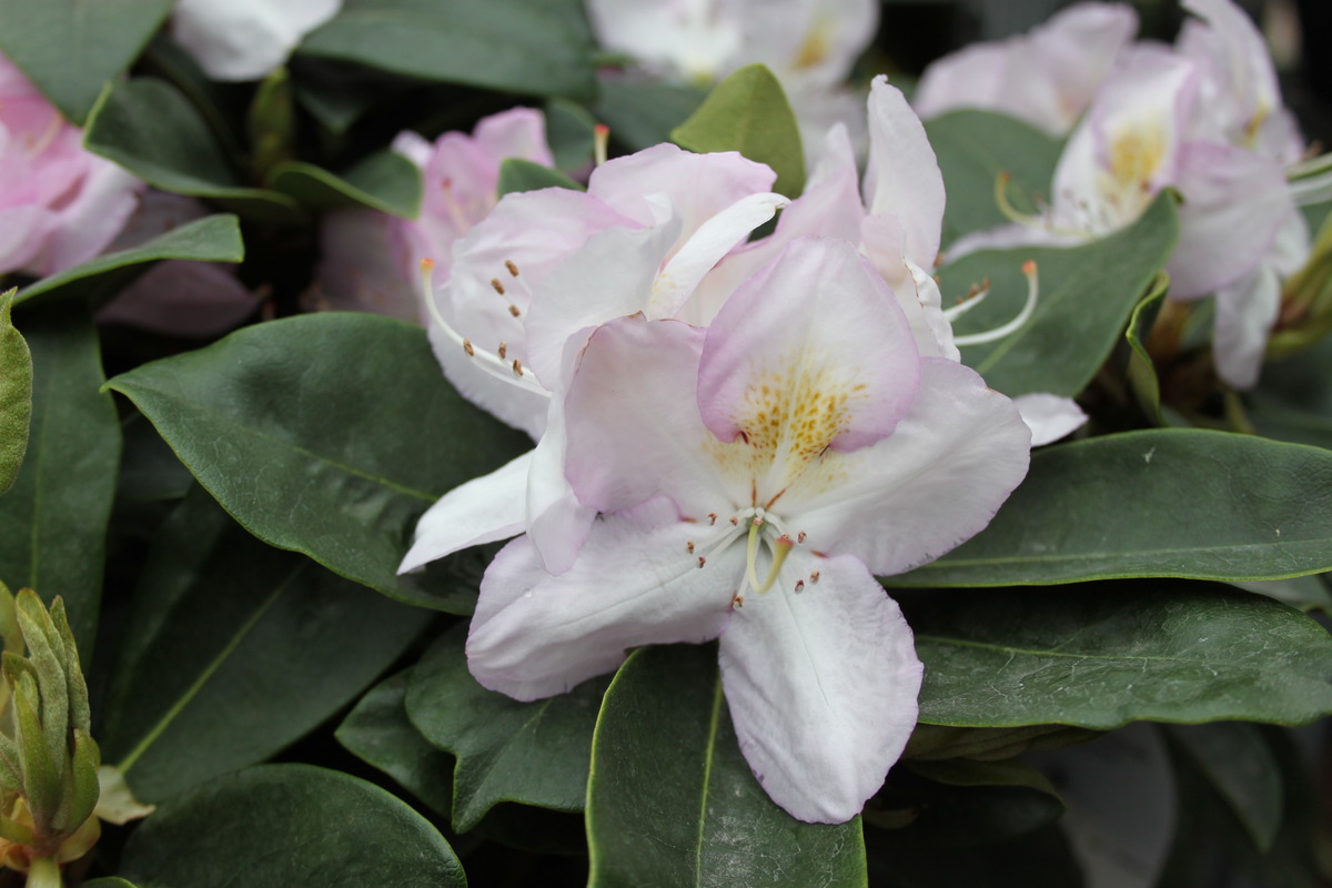 rhododendron hybride 39 gomer waterer 39. Black Bedroom Furniture Sets. Home Design Ideas