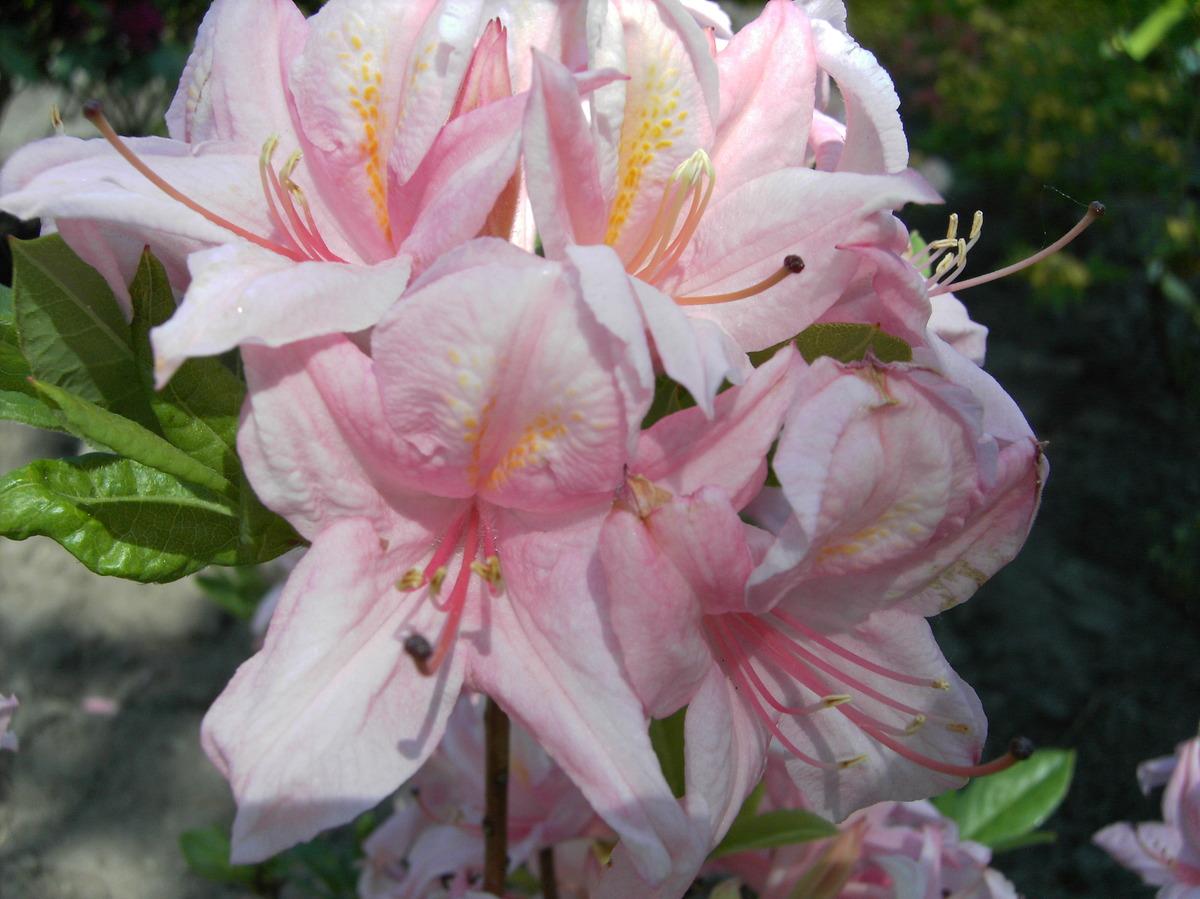 Rhododendron großblumige Hybride Gomer Waterer 30-40cm Frühlingsblüher