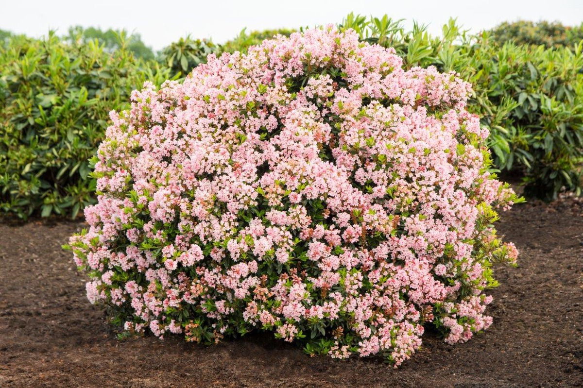 rhododendron migranthum 39 bloombux 39 inkarho. Black Bedroom Furniture Sets. Home Design Ideas