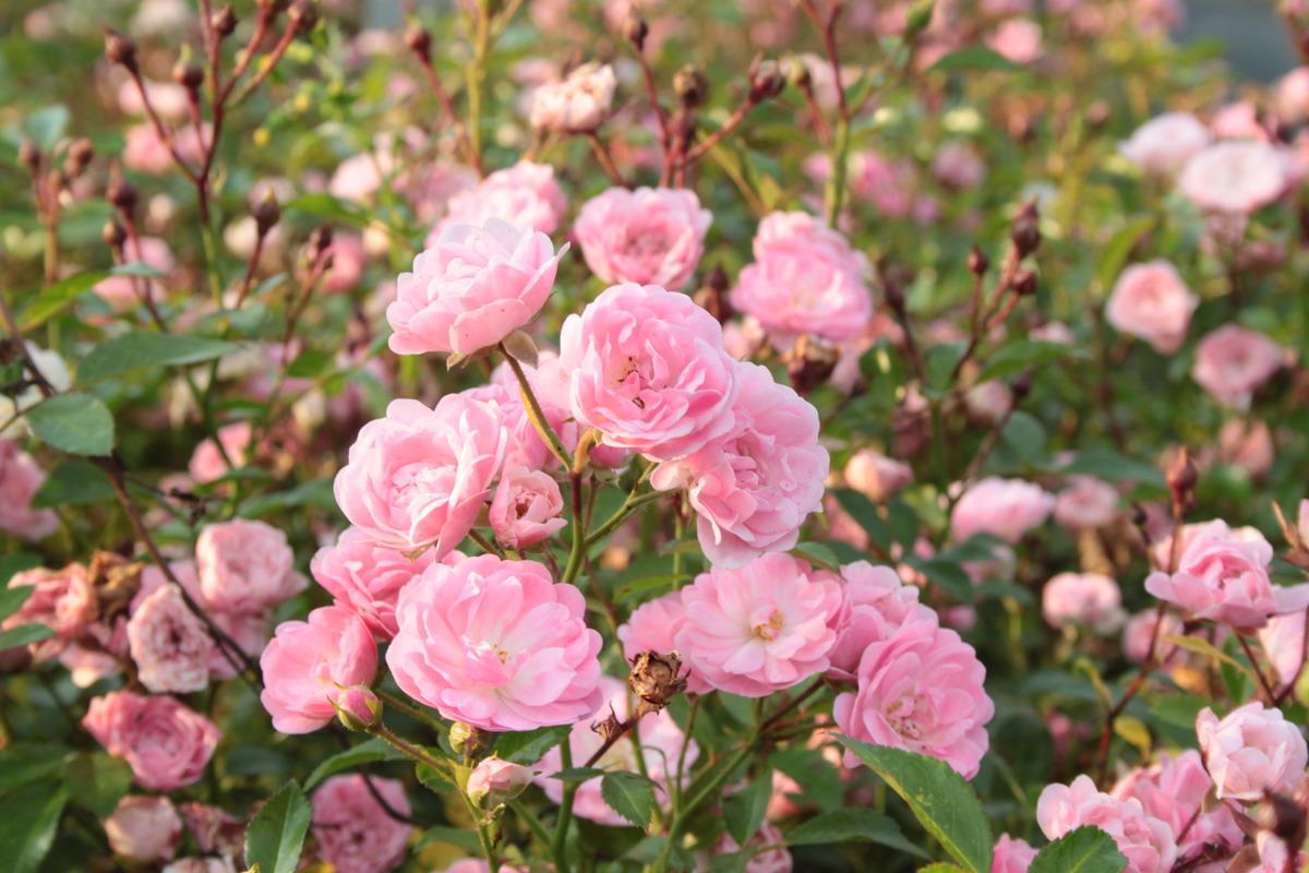Rose The Fairy Rosa Bodendeckerrose Lubera Ch