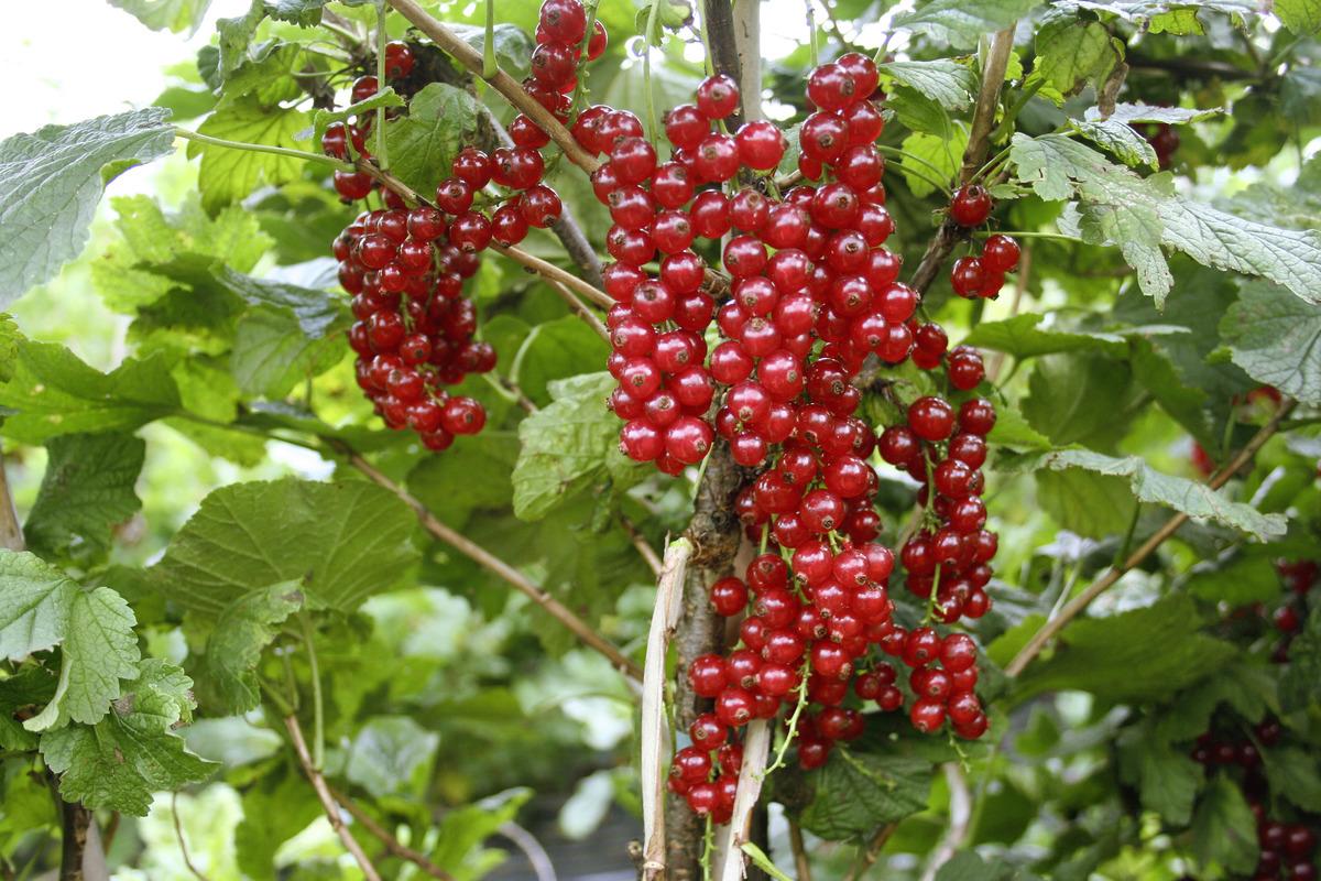 Rote Johannisbeere Ribest Susette Luberade