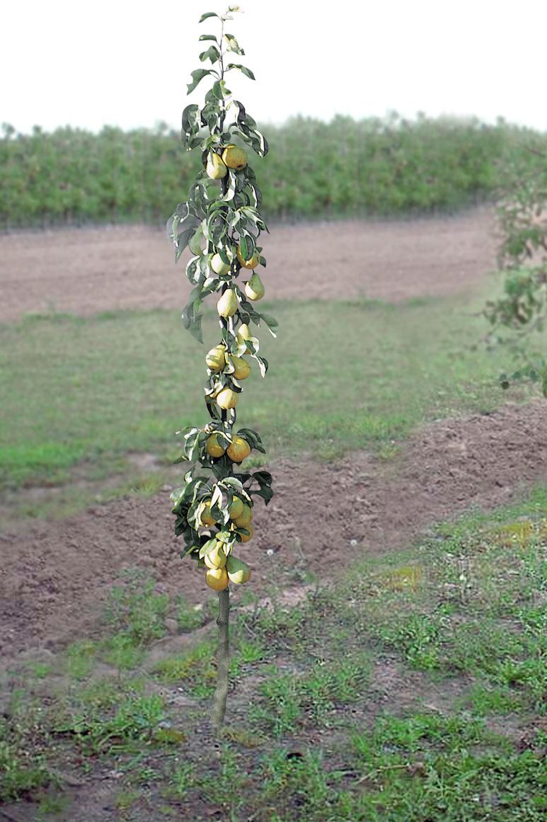 Blushwood Tree Früchte Kaufen