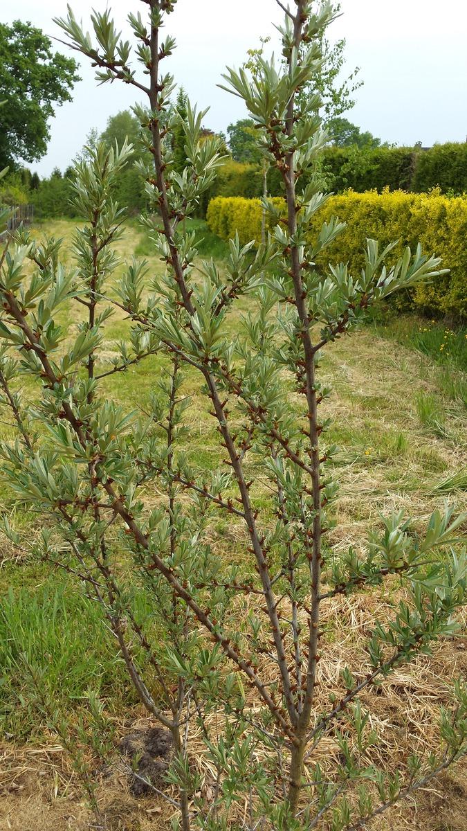 Sanddorn in Fruchtsorten männliche Sorte 60-100 cm Ziergehölze