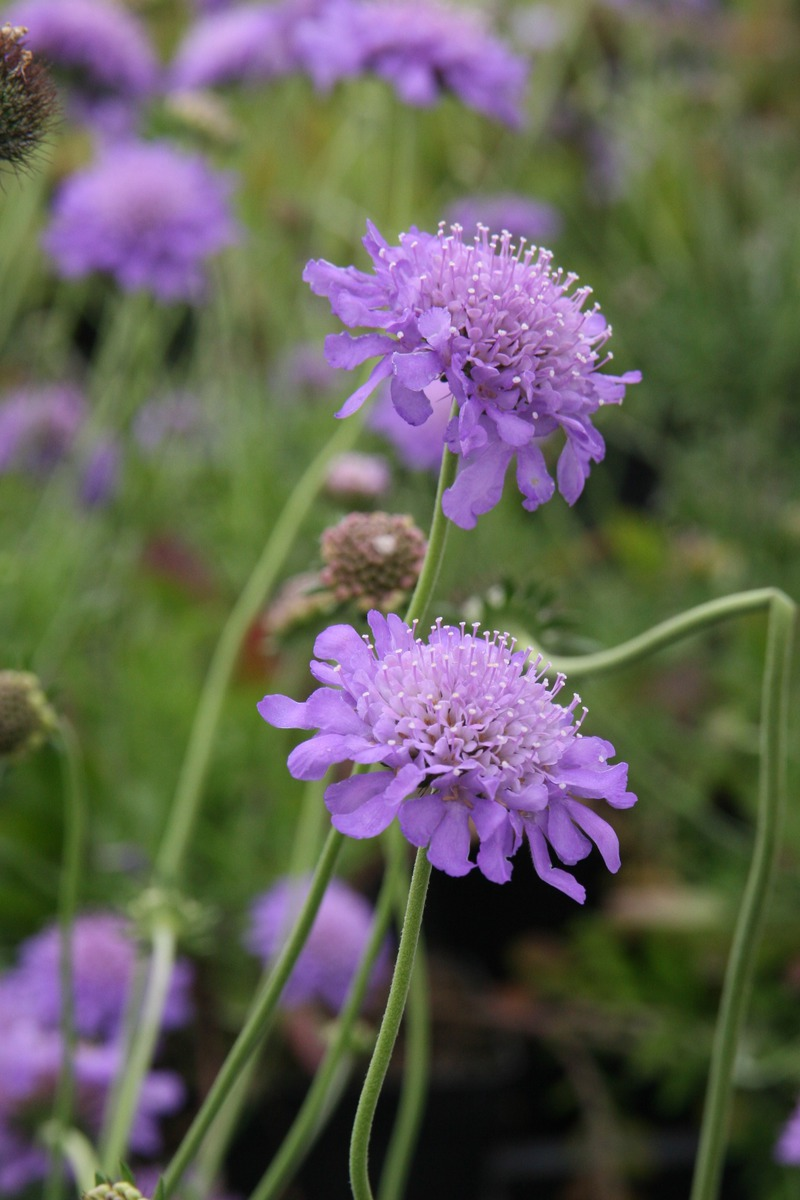 Scabiosa columbaria Butterfly Blue Lubera