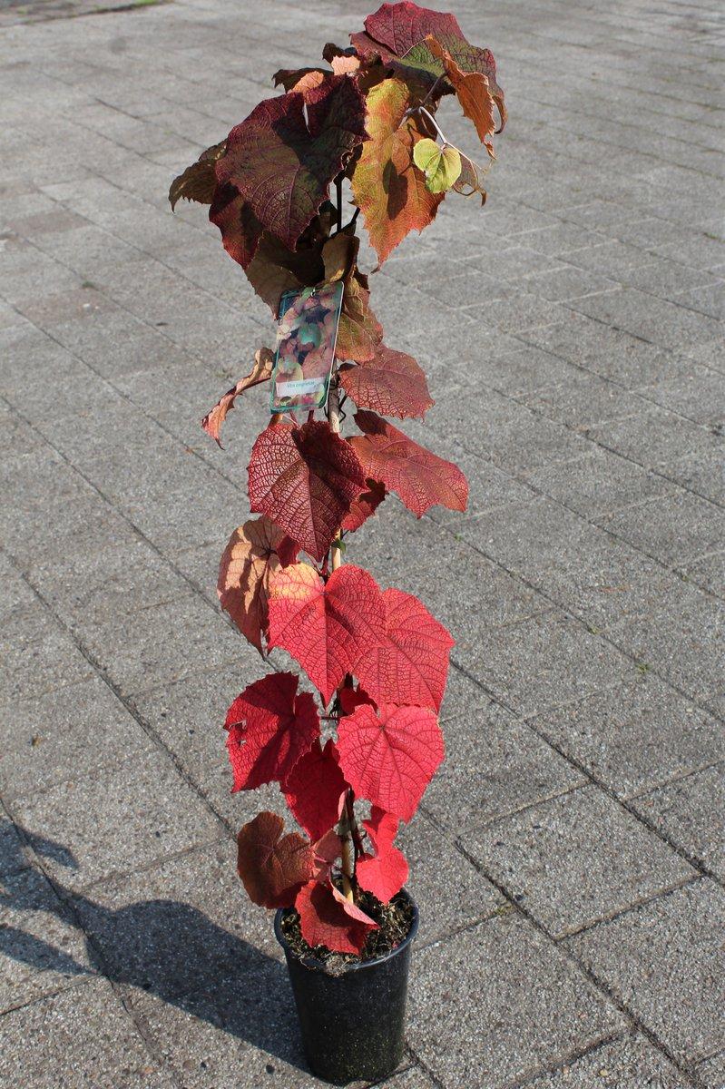 Scharlachwein Vitis coignetiae Rostrote Rebe winterharte Pflanze 80-100cm