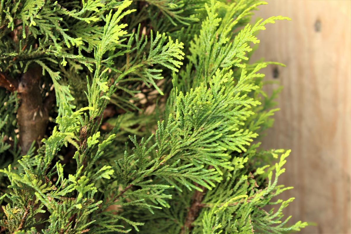 goldgelbe gartenzypresse