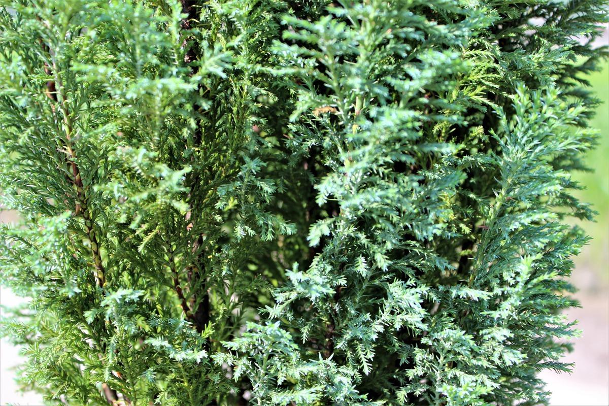 blaue kegelzypresse